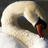 Swan neck. A curved swan neck Royalty Free Stock Photos