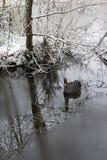 Swan nero Fotografie Stock
