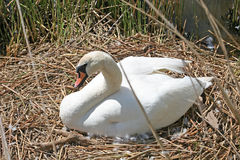 Swan on nest Royalty Free Stock Image
