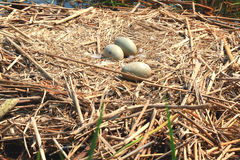 Swan nest. Royalty Free Stock Images