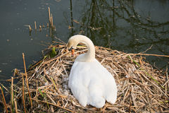 Swan on nest Royalty Free Stock Photos