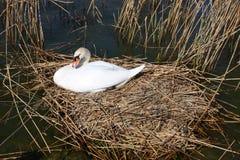 Swan nest Royalty Free Stock Photos
