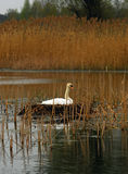 Swan in the nest Royalty Free Stock Image