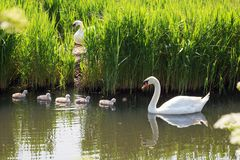 Swan nest. Babies swan chicks just hatched from eggs. royalty free stock photo