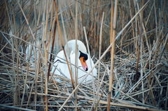 Swan in nest Royalty Free Stock Photos