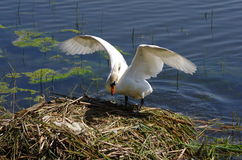 Swan. On the nest defending eggs Stock Photography