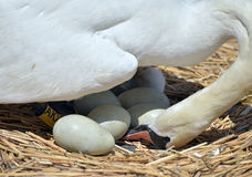 Swan with nest of eggs Royalty Free Stock Photo