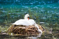 Free Swan Nest In Mountain Lake. Mother Bird And Babies Royalty Free Stock Image - 121820746