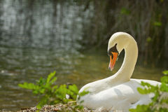 Swan in the nest Stock Image