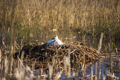 Swan in the nest. The swan in the nest on a lake in spring Stock Photo