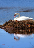 Swan in the nest Royalty Free Stock Photography