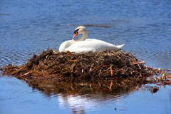 Swan in the nest. In middle of water Stock Photography