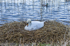 Swan on nest Stock Photo