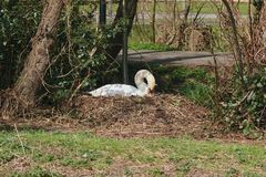 Swan nest in the park. stock photo