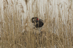 Swan nest in the reeds Royalty Free Stock Image