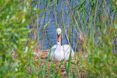 Swan in the nest reeds lake. White swan in the nest, in the reeds near the shore of the lake Royalty Free Stock Photography