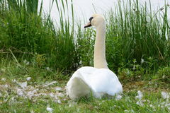 Swan in a nest at river bank. White swan in a nest at river bank Stock Image