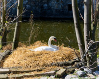 Swan in the nest Royalty Free Stock Photo