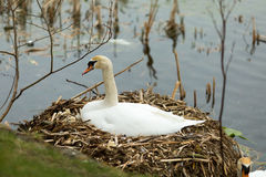 Swan at nest Royalty Free Stock Photos