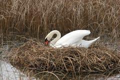 Swan nesting Stock Image