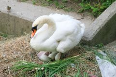 Swan nesting on a dirty pile of garbage with her eggs royalty free stock photo