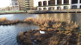 Swan nesting near Canary Wharf London Stock Image
