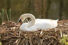 Swan nesting on a reed nest. stock photo