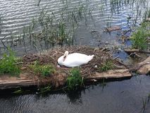 Swan nesting on the river. A swan nesting on a straw nest made up on a wooden plank across the river, with green vegetation around it. Includes grass and reeds Royalty Free Stock Photos