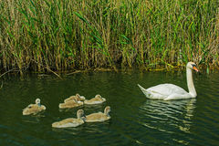 Swan with nestlings on the lake Stock Photography