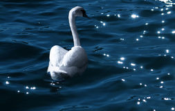Swan at night. A swan swim at night...dark blue water and shinning of the moon in the wate Royalty Free Stock Photos
