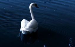 Swan at night Stock Image