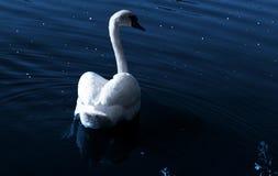 Swan at night. A swan swim at night...dark blue water and shinning stars Stock Image