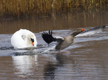 Swan not liking a goose Stock Photography