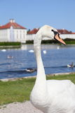 Swan at Nymphenburg Palace Stock Image