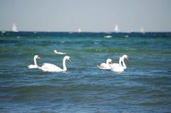 swan oceanu Fotografia Stock