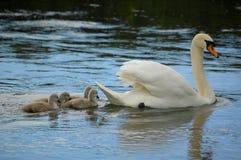 Swan och cygnets Royaltyfri Bild