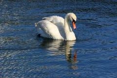 swan odbicia obraz stock