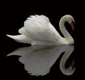 swan odzwierciedlenie fotografia stock