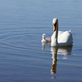 Swan and offspring. White swan with offspring on the lake in springtime Stock Photos