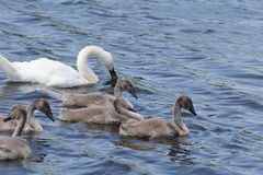 Swan offspring. At blue lake white mute Swan teaches their offspring how to get food Stock Image