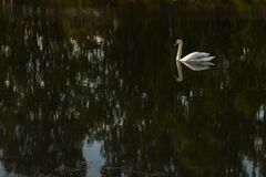 Free Swan On The Pond. Bird On The Water. Stock Photography - 195294082