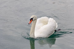 Free Swan On Water Stock Photography - 48435192
