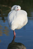 Swan on one leg Royalty Free Stock Photo