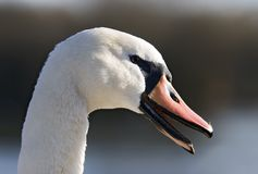 Swan with Open Beak. Swans head in profile with open orange beak, showing the rough edges of the bill Royalty Free Stock Images