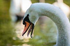 Swan with open beak. Swan cygnus on river with open beak Royalty Free Stock Photo