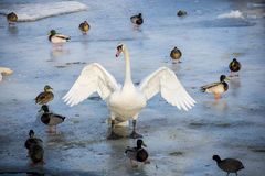 Swan with open wings on the river. Swan and ducks on the frozen river Stock Photo