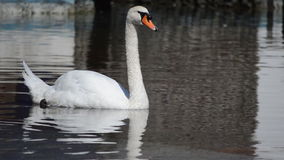 Swan Opens his Mouth and Swims Away Royalty Free Stock Photo