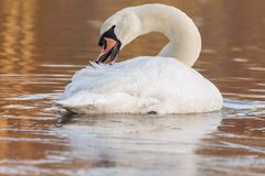 A swan on an icy pond. A swan on the Ornamental Lake in the ice, Southampton Common stock image
