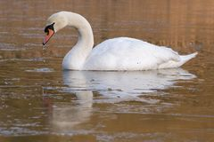 A swan on an icy pond. A swan on the Ornamental Lake in the ice, Southampton Common stock photography
