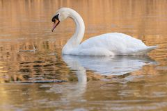 A swan on an icy pond. A swan on the Ornamental Lake in the ice, Southampton Common royalty free stock photos